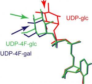 UDP-galactose 4-epimerase (GalE in Escherichi coli) graphic